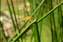 Yellow dragonfly. With Green Backgrond royalty free stock image