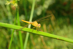 Yellow dragonfly. With Green Backgrong royalty free stock images
