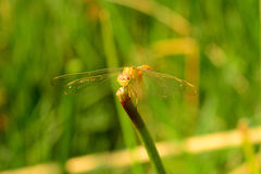 Yellow dragonfly. With Green Backgrong royalty free stock photography