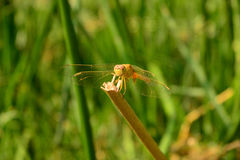 Yellow dragonfly. With Green Backgrong stock photo