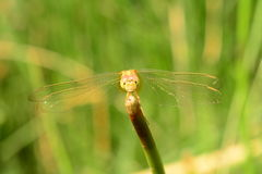 Yellow dragonfly. With Green Backgrong stock image
