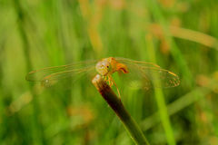 Yellow dragonfly. With Green Backgrong stock photos