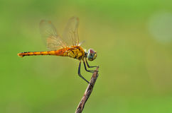 Yellow dragonfly. A dragonfly hanging in the tree branch royalty free stock photo