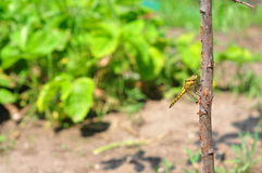 Yellow dragonfly Stock Images