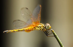 The yellow dragonfly hold on a branch Royalty Free Stock Image