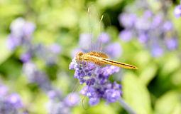 Yellow dragonfly on lavender flower. Stock Photo