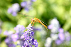 Yellow dragonfly on lavender flower. Stock Images