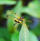 Yellow dragonfly Stock Photo