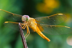 A yellow dragonfly with a lovely smile. In the image, there is a yellow dragonfly which wears a big and lovely smile. It looks so happy and funny stock photos
