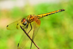 Yellow Dragonfly Royalty Free Stock Photography