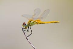 Yellow dragonfly Royalty Free Stock Photos