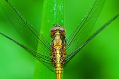 Yellow dragonfly in the park Royalty Free Stock Photography