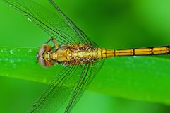 Yellow dragonfly in the park Royalty Free Stock Photos