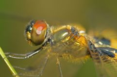 Yellow dragonfly in the park Stock Images