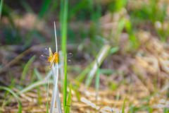Yellow dragonfly is perched on the green grass leaf in the sunny. Day Stock Image
