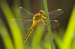 Yellow Dragonfly perched on a stick Stock Images