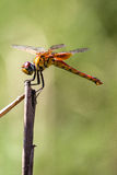 A yellow dragonfly perched on top of a plant. 