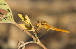 Yellow Dragonfly on plant Stock Photos