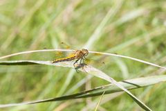 Yellow dragonfly on a plant straw Stock Images