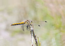 Yellow dragonfly on a plant straw Stock Photo