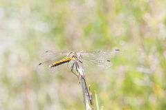 Yellow dragonfly on a plant straw Stock Photography