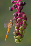 Yellow dragonfly on pokeweed Royalty Free Stock Images