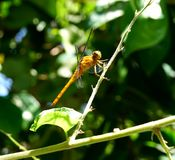 A yellow dragonfly rest on the tree branch Stock Image