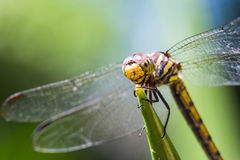 Yellow dragonfly Royalty Free Stock Image