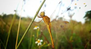 The Yellow Dragonfly is Resting on the Plant. The yellow dragonfly in nature royalty free stock photos