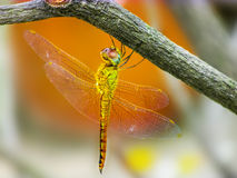 Yellow Dragonfly siting on a twig. Yellow Dragonfly sitting from below a twig in the falling sun Stock Photo