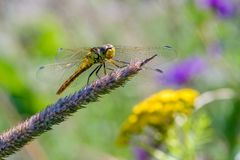 Yellow dragonfly sits on a grass stalk on a mottled background of flowering meadow flowers. A yellow dragonfly sits on a grass stalk on a mottled background of Royalty Free Stock Images