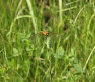 Yellow dragonfly sits on a stalk sedge meadow with blurred backg Stock Images