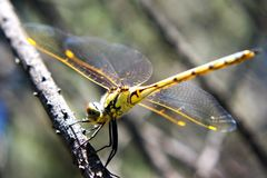 Yellow Dragonfly on Stick. A dragonfly is an insect belonging to the order Odonata, infraorder Anisoptera. Adult dragonflies are characterized by large royalty free stock photo