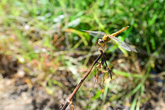 Yellow Dragonfly on the Stick Royalty Free Stock Photo