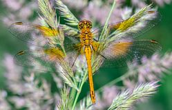 The yellow dragonfly sympeyre with its widely spread netted wing. S sits on the grass Stock Image