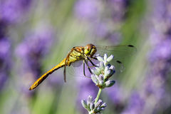Yellow dragonfly on a violet flower Royalty Free Stock Image