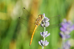 Yellow dragonfly on a violet flower Royalty Free Stock Photography