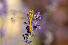 Yellow dragonfly on a violet flower Stock Photos
