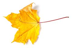 Yellow dried autumn maple-leaf Stock Photo