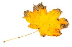 Yellow dried autumn maple-leaf Stock Photos