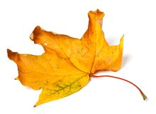 Yellow dried autumn maple-leaf on white background Royalty Free Stock Photos
