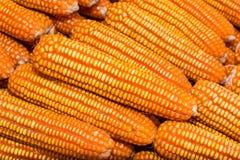 Yellow dried corn bundle. Royalty Free Stock Photo