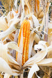 Yellow dried corn Stock Photo