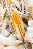 Yellow dried corn Royalty Free Stock Images