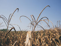 Yellow dried corn field. Stock Image