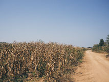 Yellow dried corn field. Stock Images
