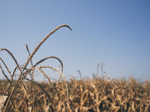 Yellow dried corn field. Stock Photography