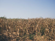 Yellow dried corn field. Royalty Free Stock Image