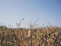 Yellow dried corn field. Royalty Free Stock Photography