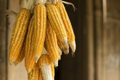 Yellow dried corn hung up for drying. Yellow dried corn on cobs hung on the beam Stock Photography
